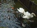 鯉、かも、白鳥など